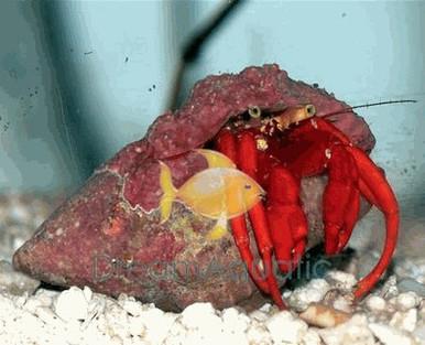 Scarlet Hermit Crab - Paguristes cadenati - Scarlet Reef Hermit - Red Reef Hermit - Scarlet Leg Hermit Crab