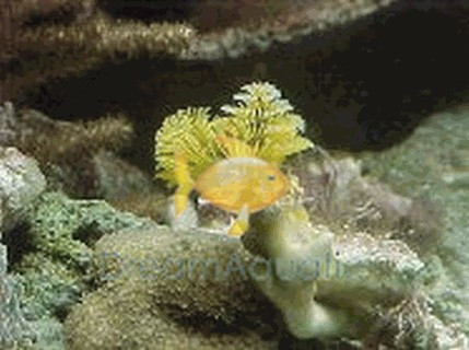 Xmas Tree Worm Rock Spirobranchus Species Bisma Rock Multicolor Worms Plume Rock Christmas Tree Worm Dreamaquatic Com