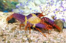 Red Lobster - Enoplometopus species - Hawaiian Reef Lobster