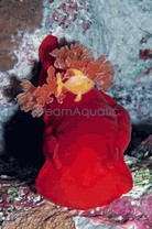 Red Lettuce Nudibranch - Bryopsis - Eating Nudibranch - Tridachia crispata - Lettuce Sea Slug