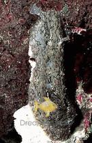 Sea Hare - Aplysia punctata