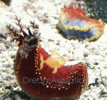 Sea Apple - Australian - Pseudocolochirus violaceus - Philippine Sea Apple