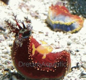 Sea Apple - Australian - Pseudocolochirus violaceus - Philippine Sea Apple