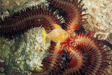 Bubble Tip Brittle Fancy Sea Star - Ophiarachna species - Fancy Brittle