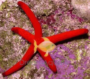 Burgundy Linckia Sea Star - Linkia species - Burgundy Sea Star