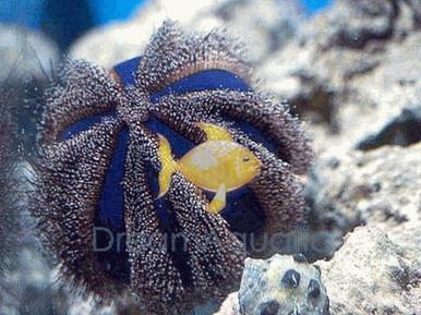 Pincushion Tuxedo Urchin - Mespilia globulus - Globe Urchin