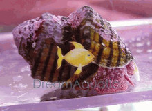 Red Foot Algae Snail - Norrisia norrisi - Norris Top Snail