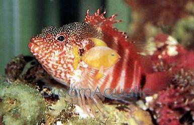 Blood Red Hawkfish - Cirrhitops fasciatus - Blood Hawk Fish