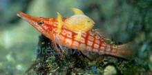 Longnose Hawkfish - Oxycirrhites typus - Long Nose Hawk Fish
