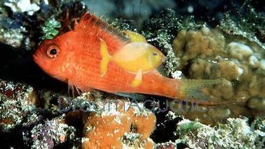 Red Hawkfish - Cyprinocirrhites polyactus - Lyretail - Swallowtail Hawkfish