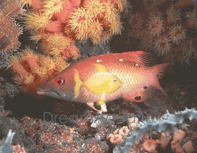 Diana's Hogfish - Bodianus diana - Red Diana Hog Fish