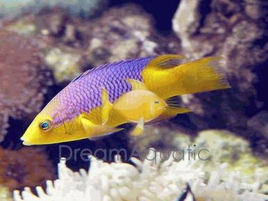 Spanish Hogfish - Bodianus rufus - Spanish Hog Fish