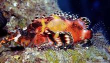 Fu Manchu Lionfish - Dendrochirus biocellatus - Fu Manchu Lion Fish - Twinspot Lionfish