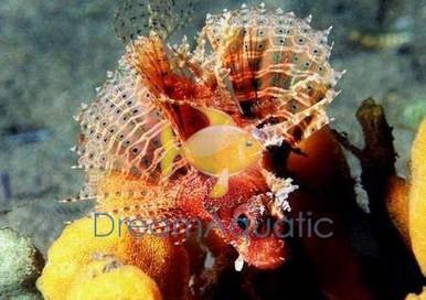 Fuzzy Dwarf Lionfish - Dendrochirus brachypterus - Shortfin Lion Fish