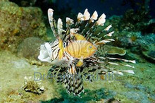 Volitan Common Lionfish - Pterois lunulata - Luna Lion - Turkeyfish - Butterfly Cod - Devilfish - Black Volitan Lion Fish
