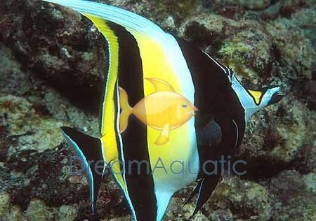 Moorish Idol Zanclus Canescens Moorish Idol Fish