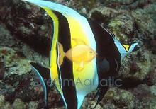 Moorish Idol - Zanclus canescens - Moorish Idol Fish