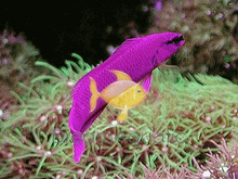Fridmani Dotty back Fish - Pseudochromis fridmani - Orchid Dottyback - Fridman's Dottyback Fish