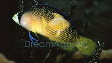 Splendid Dotty back fish - Pseudochromis splendens - Allen's Dottyback Fish