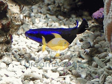 Springeri Dotty back fish - Pseudochromis springeri - Springer's Bluestriped Dottyback Fish