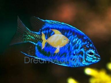 Springeri Dotty back fish - Pseudochromis springeri - Springer's Bluestriped Dottyback Fish
