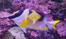 Metallic Foxface Rabbitfish - Lo magnifica - Silver Fox face Rabbit Fish