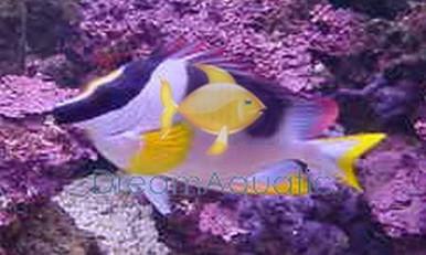 Metallic Foxface Rabbitfish - Lo magnifica - Silver Fox face Rabbit Fish