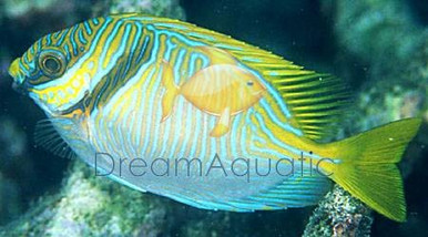 Scribbled Rabbitfish - Siganus doliatus - Doliatus Foxface Fish - Barred Spinefoot - Blue Lined Rabbit Fish