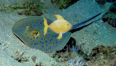 Blue Dot Stingray - Taeniura lymma - Stingray Blue-Spotted Sting Ray
