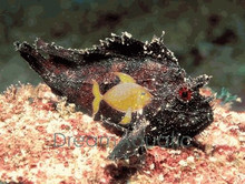Leaf Fish Scorpion Fish - Taenianotus triacanthus - Leaf Scorpionfish - Paper fish - Sailfin Leaf Fish