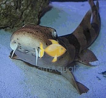 Bamboo Cat Shark - Chiloscyllium punctatum - Brownbanded Cat Shark - Blackbanded Cat Shark - Bamboo Shark