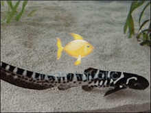 Zebra Shark - Leopard Shark - Zebra Shark Juvenile