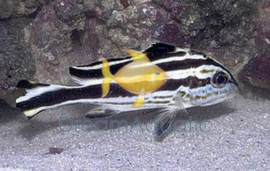 Malcolor Niger - Grunts Sweetlips - Macolor niger - Macolor Snapper Sweet lips