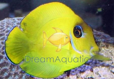 Atlantic Blue Juvenile Tang - Yellow Juvenile Coloration Tang - Acanthurus coeruleus - Juvenile Atlantic Blue Tang