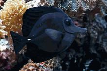 Black Tang - Zebrasoma rostratum - Longnose Surgeonfish