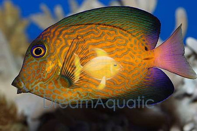 Chevron Tang Juvenile - Ctenochaetus hawaiiensis - Hawaiian Bristletooth - Hawaiian Surgeon fish - Black Surgeonfish