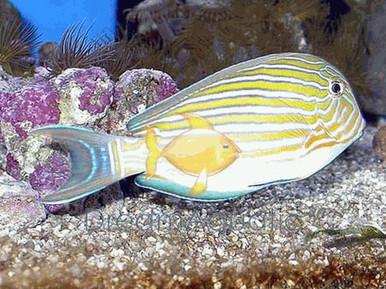 Clown Tang - Acanthurus lineatus - Clown Surgeonfish - Lined Surgeonfish