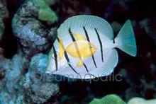 Convict Tang - Acanthurus triostegus - Hawaii Manini - Hawaiian Tang
