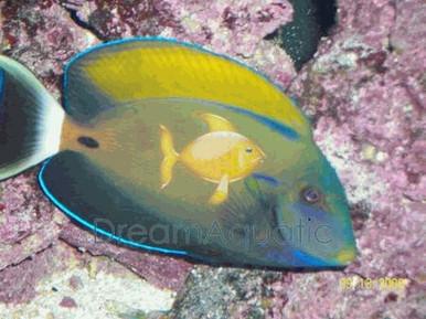 Fowleri Tang - Acanthurus fowleri - Horse Shoe Tang - Fowleri Surgeon fish