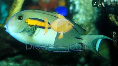 Orange Shoulder Tang - Acanthurus olivaceus - Orangeshoulder Surgeonfish