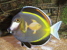 Powder Brown Tang - Acanthurus japonicus - Powder Brown Surgeon