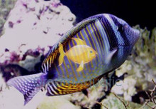 Sailfin Tang - Zebrasoma veliferum