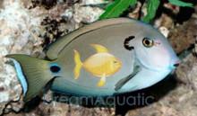 Tennenti Tang - Acanthurus tennenti - Vampire Tang - Lieutenant Tang - Urkos Tang - Tennenti Surgeon fish