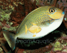 Vlamingii Tang - Naso vlamingi - Vlaming's Unicornfish