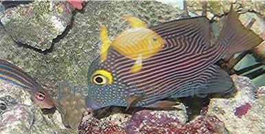 Yellow Eye Kole Tang - Ctenochaetus strigosus - Striped Bristletooth Tang - Goldring Tang Fish