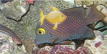 Yellow Eye Kole Tang - Ctenochaetus strigosus - Striped Bristletooth Tang - Goldring Tang Fish