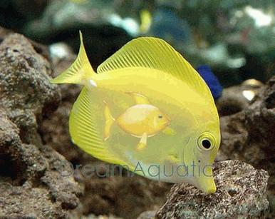 Yellow Tang (Hawaii) - Zebrasoma flavescens - Yellow Hawaii Tang - Yellow Sailfin Tang