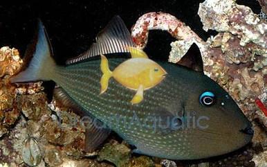 Blue Jaw Trigger Fish - FEMALE - Xanthichthys auromarginatus - Bluechin Triggerfish - Blue Throat Trigger Fish