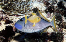 Blue Jaw Trigger Fish - MALE - Xanthichthys auromarginatus - Bluechin Triggerfish - Blue Throat Trigger Fish