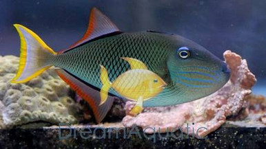 Crosshatch Trigger Fish - FEMALE - Xanthichthys mento - Mento Triggerfish - Blue Cheekline Triggerfish - Pinecone Trigger